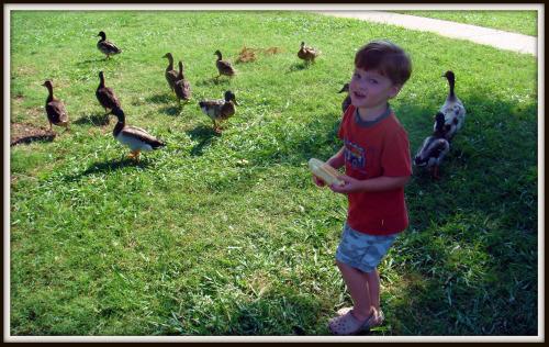 Ducks walk away