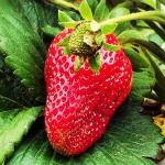 california strawberry