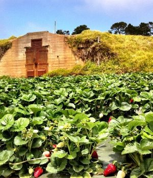 strawberry field at Monterey Bay Academy