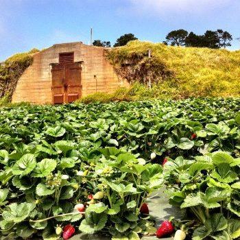 strawberry field at Monterey Bay Academy