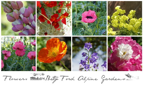 Betty Ford Alpine Gardens Flowers in Vail