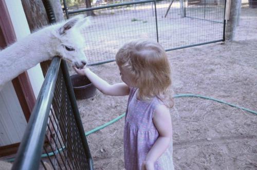 little girl feeding alpaca on farm