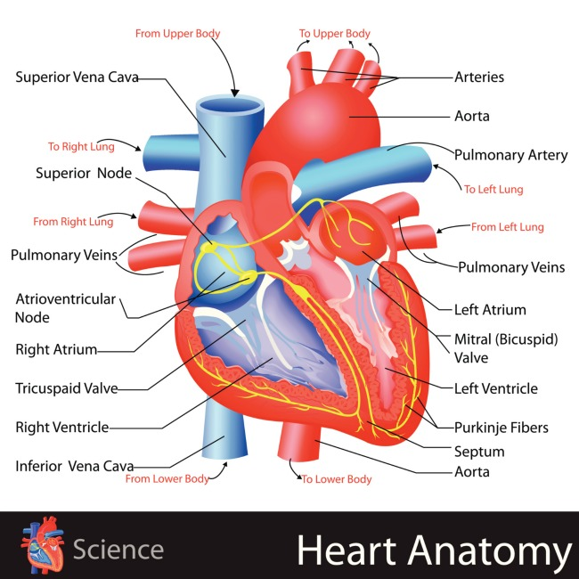 heart anatomy lesson for kids showing a real heart with muscles and valves and veins