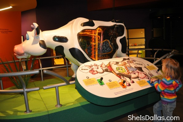 Grossology Science Exhibit - cows digestive system for kids