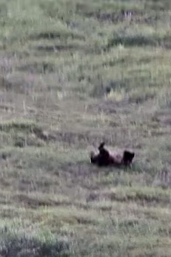 bear rolling