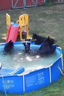 feature bears in the pool