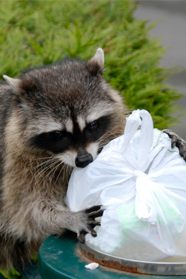 raccoon doing chores