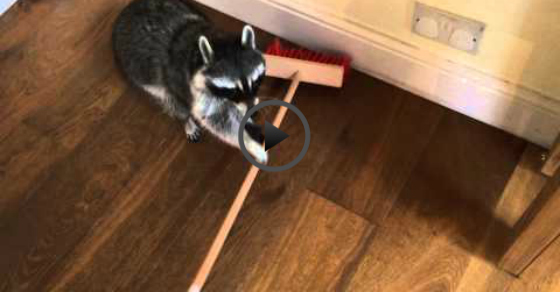 sweeping raccoon