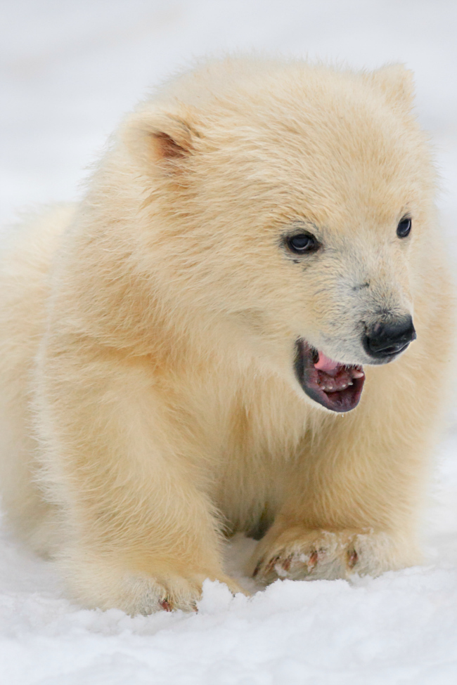 What In The World Is This Baby Polar Bear Chasing In His