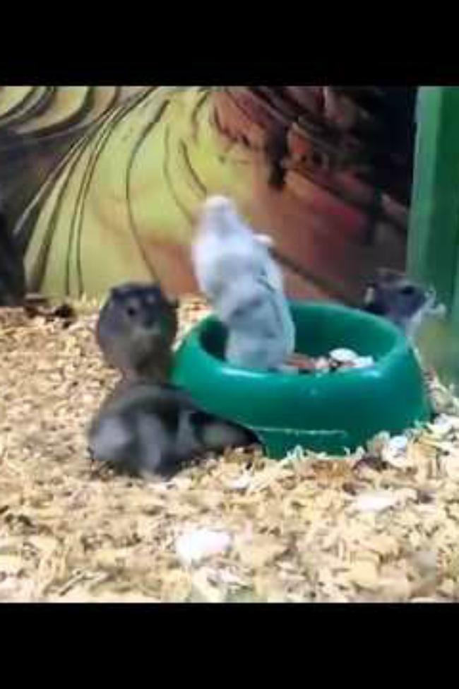 hamster does backflip