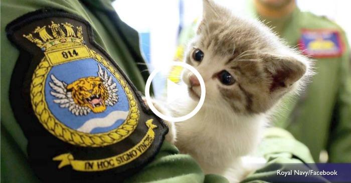 navy kitten