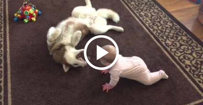 husky plays with baby
