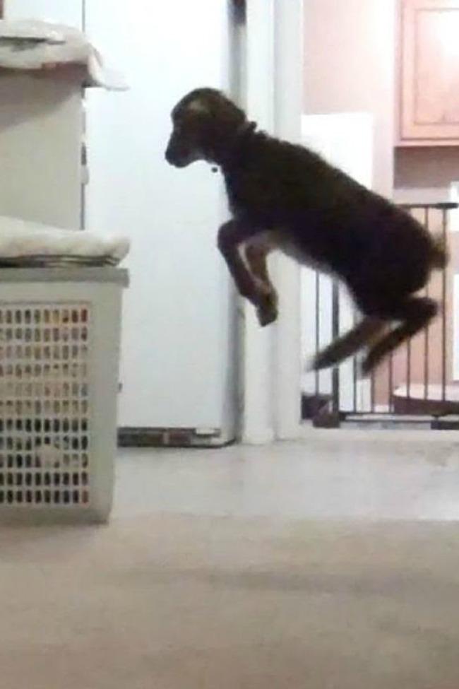 lamb jumping after girl
