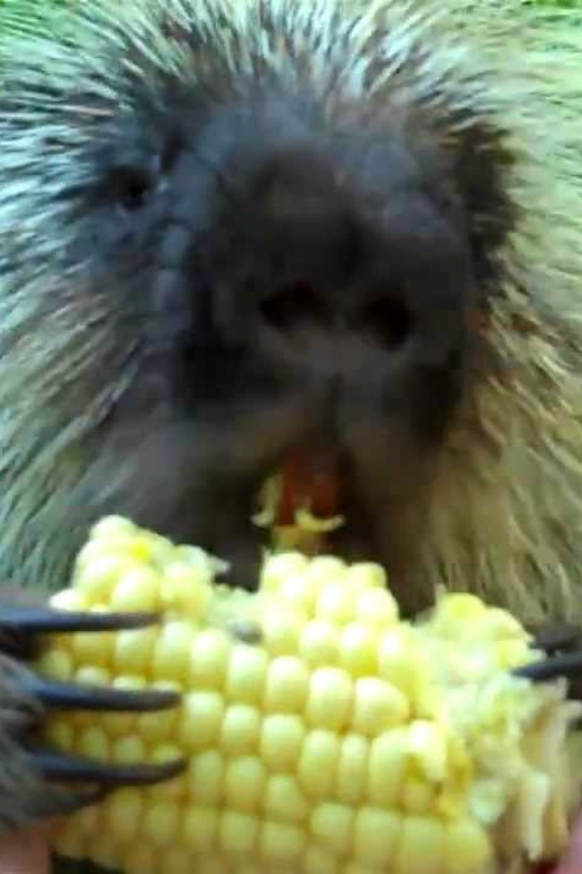 porcupine eating corn and happy