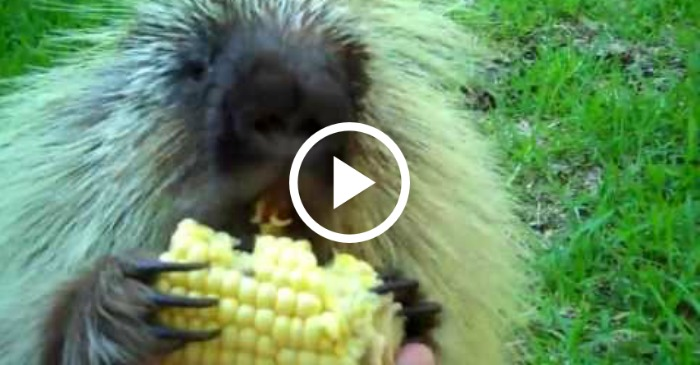porcupine eating corn