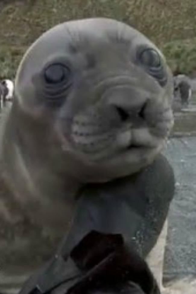 when baby seals attack