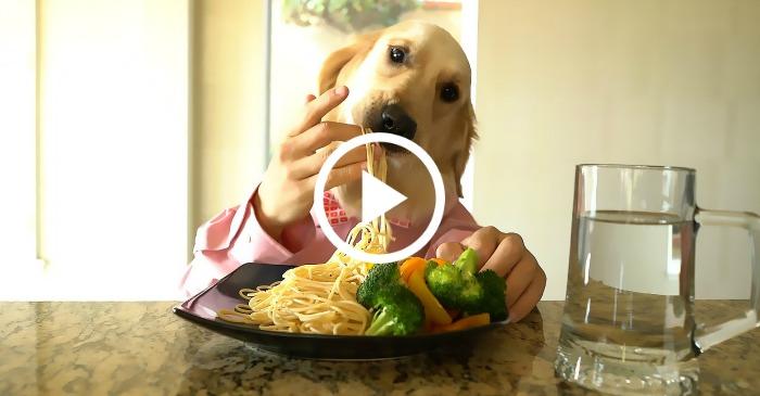 chef dog eating