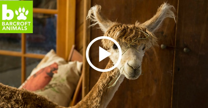 house alpaca