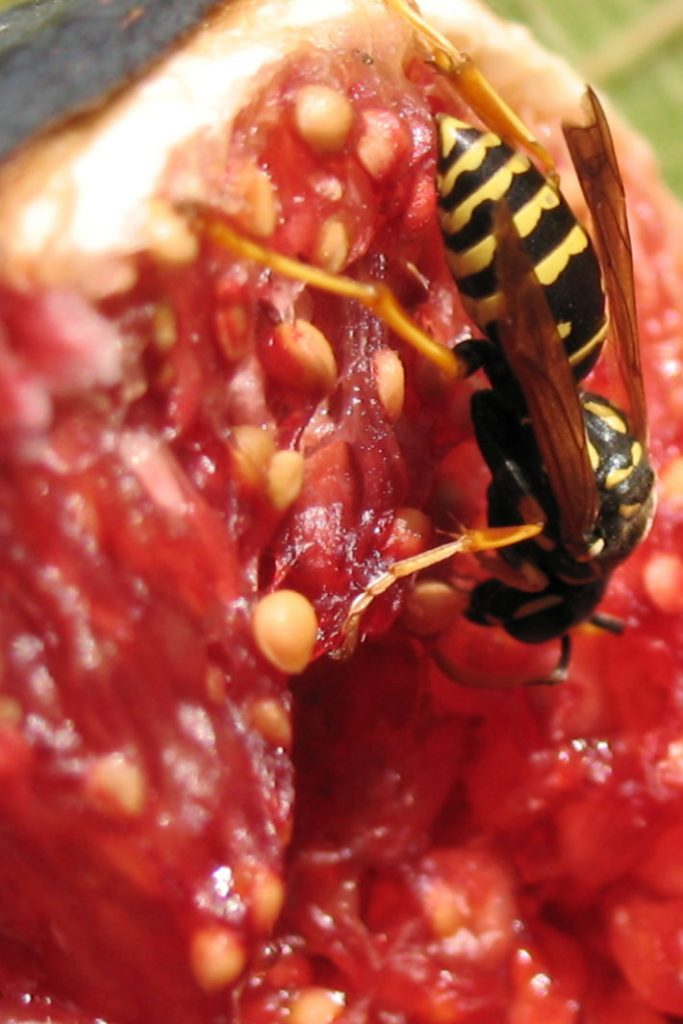 wasp in a fig video about whether figs have wasps from Kids Activities Blog