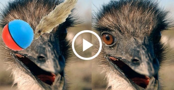 emu-vs-ball