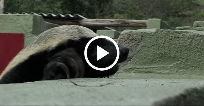 honey-badger-escapes