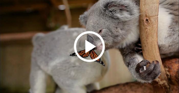 koala-and-butterfly