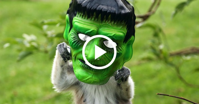 lemurs-in-halloween-masks