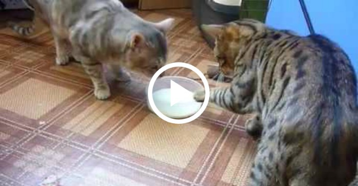 cats-fight-over-milk