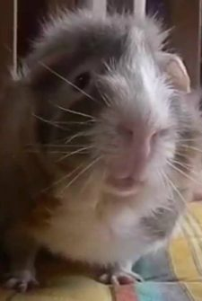 These Talking Guinea Pigs Don't Understand The Hoopla Over Pumpkin Spice…