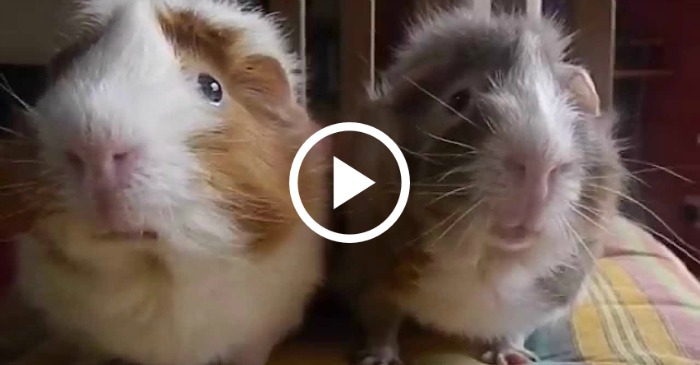 guinea-pigs-dont-understand