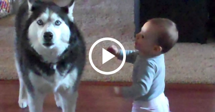 Apparently This Baby And Husky