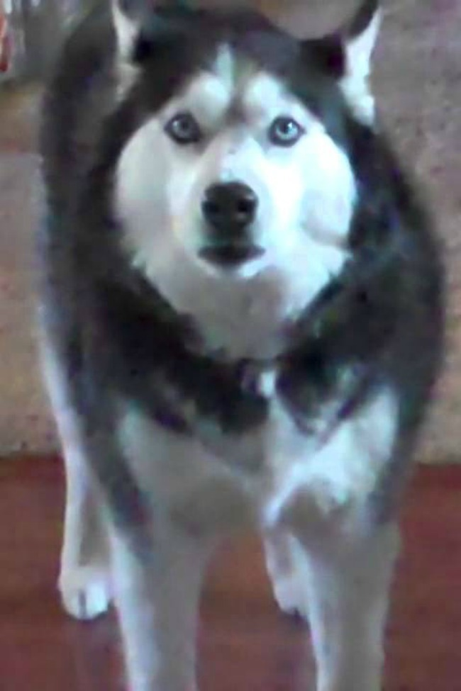 husky-howling