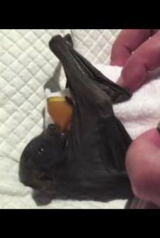 Baby Bat Drops Her Binky, Starts Crying In Protest