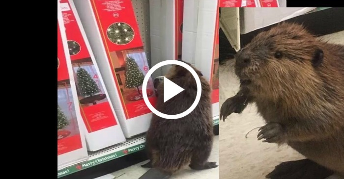 This Beaver Was Spotted Shopping For An Artificial