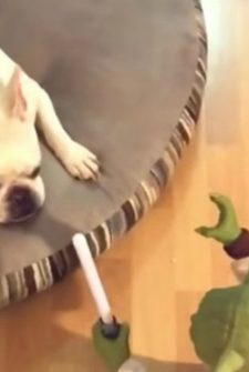 Yoda And French Bulldog Fight Epic Battle