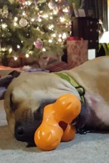 Dog Fell Asleep With New Toy Still In Mouth