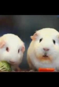 This Guinea Pig Having An Existential Crisis Is WAY Funner Than It Has Any Right To Be