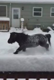 A Mini Horse Playing In The Snow Is What We All Needed Today