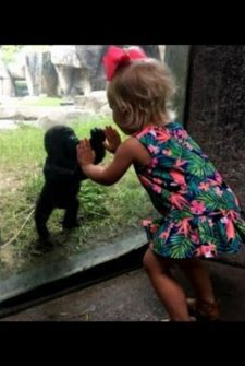 Baby Gorilla And 2-Year-Old Play Patty Cake At Fort Worth Zoo