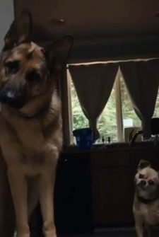 Dogs Super Excited When Little Boy Comes Home From School Each Day!