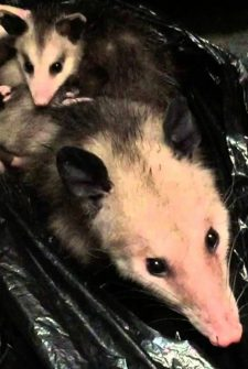 A Possum And Her Babies Moved Into This Woman's Closet!