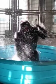 This Gorilla Flashdancing In A Pool The Best Thing You'll See All Summer