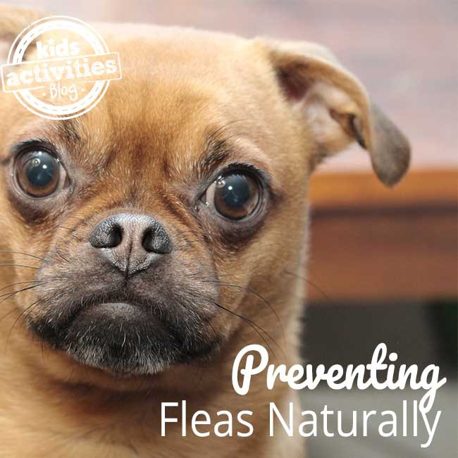 Preventing Fleas Naturally