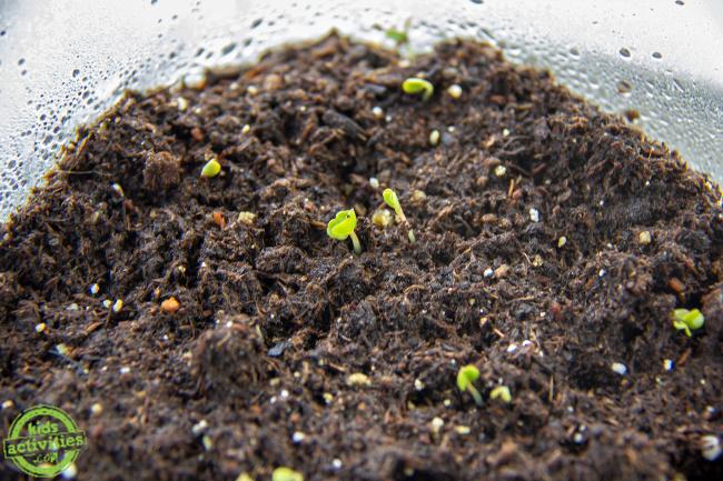 de minuscules pousses jaillissant du sol