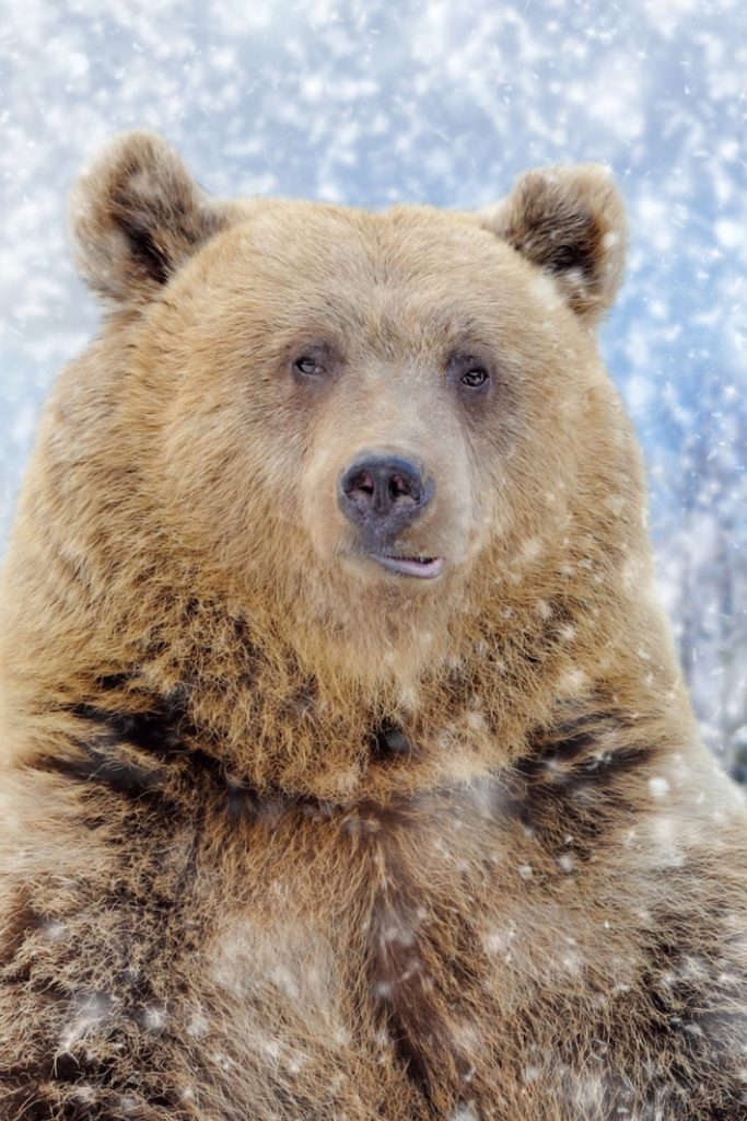 bear in the snow looking at the camera - bear chases skier down mountain video - Kids Activities Blog