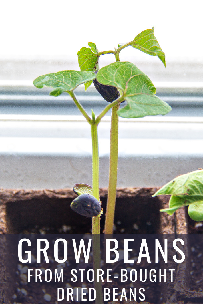 How to Grow Beans from Dried Store-Bought Beans – starkidslearn.com